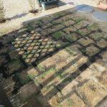 DIYで芝張り!枯れてるように見えていた芝の生育状況